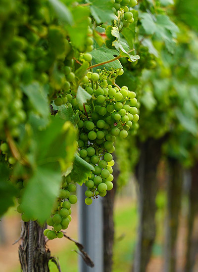 Ontario Wine Grapes On The Vine