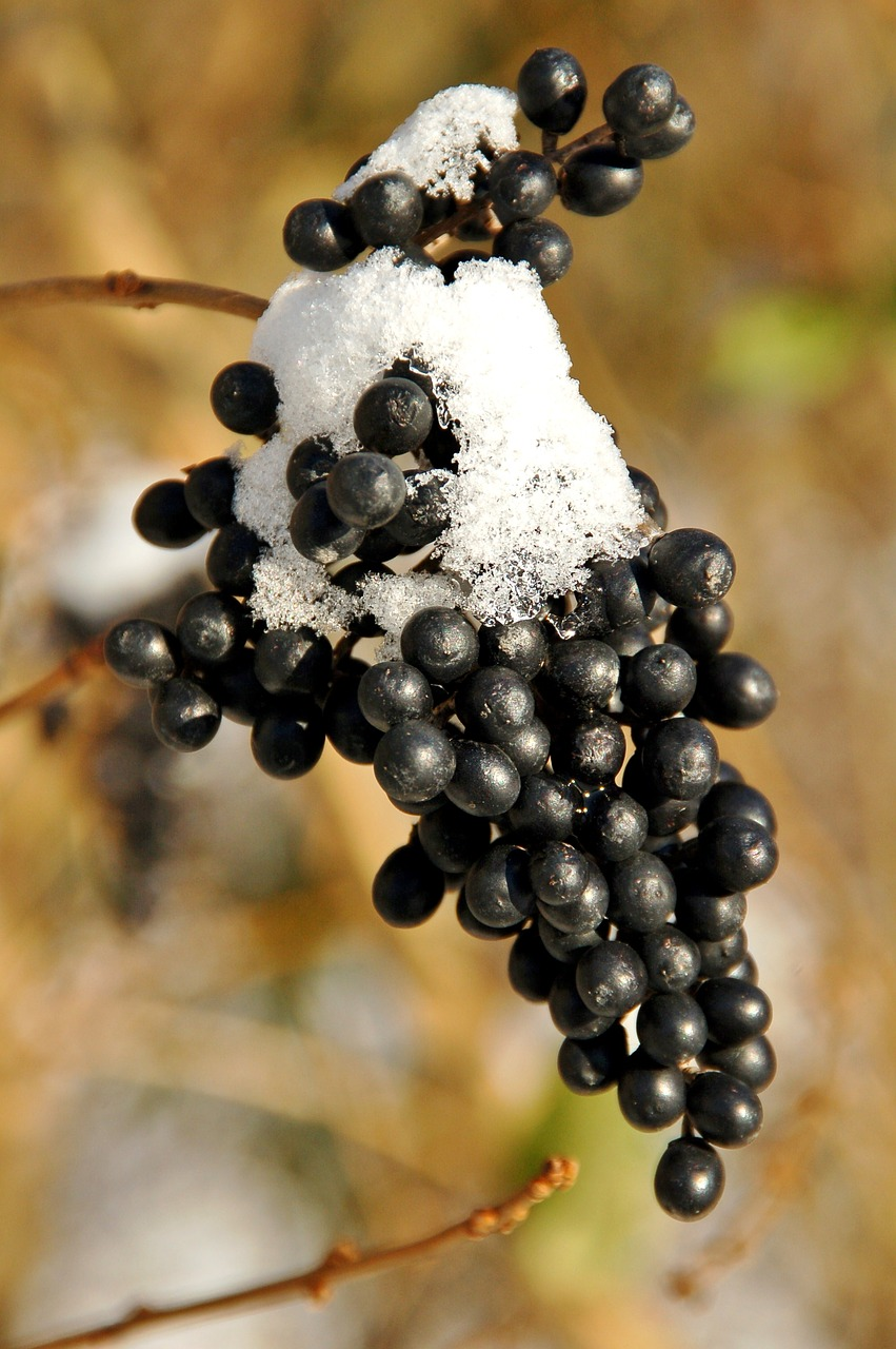 Grapes On Vine With Snow